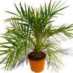 Финиковая пальма из косточки