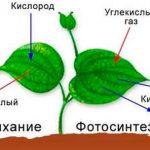 Дыхание растений и воздушный режим