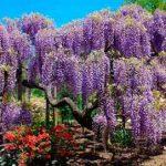 Гортензия садовая (разные формы)