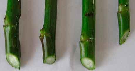 Вегетативное размножение стеблевыми черенками