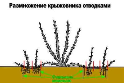 Размножение отводками - размножение воздушными отводками и др.