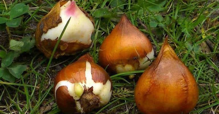 Размножение клубнелуковичных растений