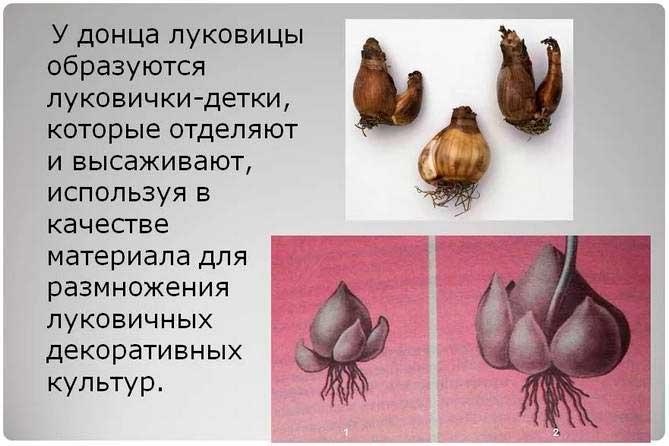 Размножение луковичных растений фото