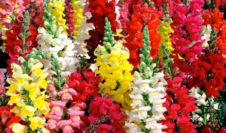 цветы львиный зев фото: