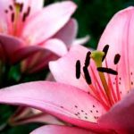 картинки цветов лилии
