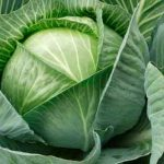 Полезные свойства белокачанной капусты
