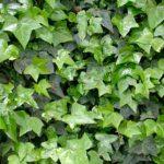 Плетистые растения фото