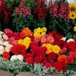 Уход за клубневыми цветами фото