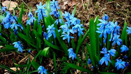 Цветы подснежники фото