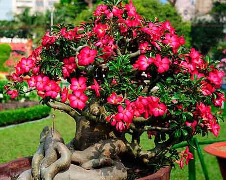 Роза пустыни цветок фото