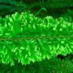 Использование нефролеписа как ампельное растение