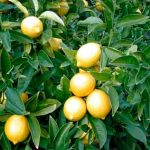 Как вырастить лимон дома фото