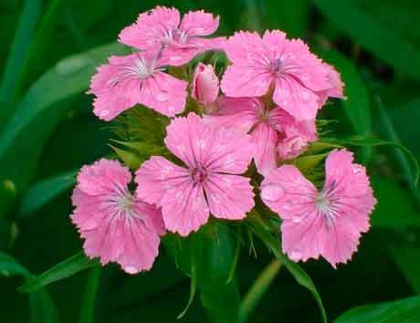 гвоздичные растения в цветоводстве