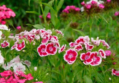 Растения семейства гвоздичных фото