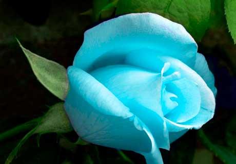 Розы язык цветов