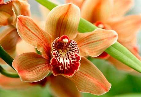 Орхидея комнатная фото
