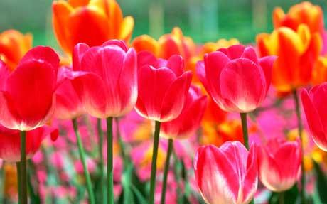 Сроки посадки тюльпанов в средней полосе России