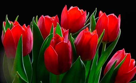Вредители тюльпанов фото