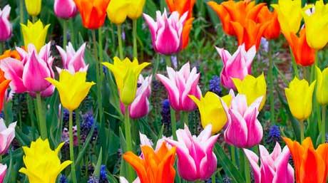 Болезни тюльпанов фото