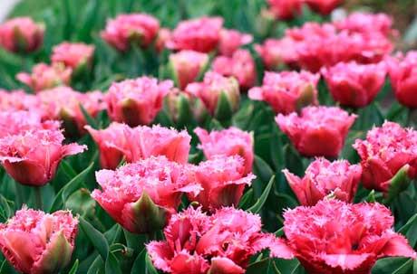 Фото сортов тюльпанов