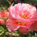 Портулак цветы махровые