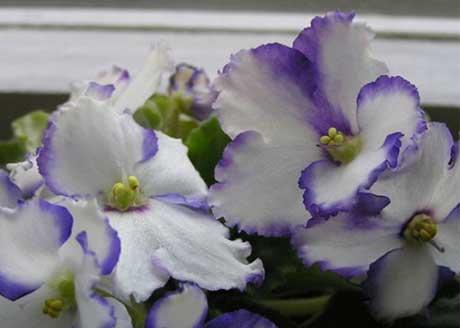 цветок фиалка уход