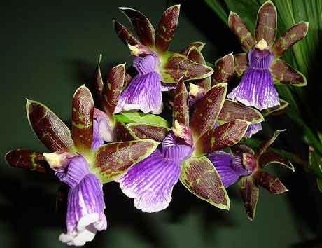 Орхидея Зигопеталум Маккея проста в уходе