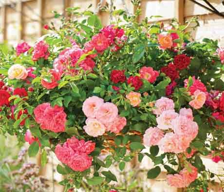 Прекрасное развитие комнатной розы на балконе весной.
