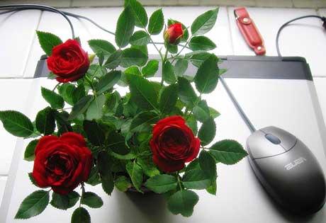 Условия развития комнатных роз