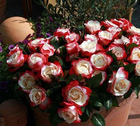 Грунт для розы комнатной — Цветок домашний