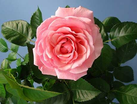 Размножение комнатных роз вегетативным способом