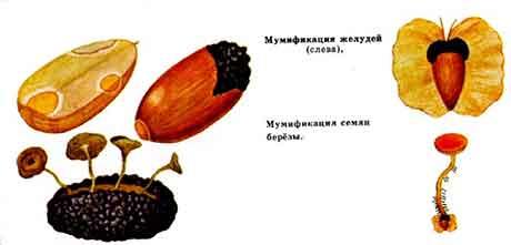 Мумификация семян
