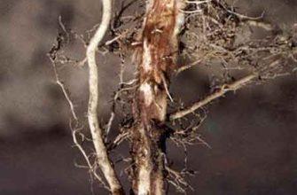 Гниль корней сеянцев дуба