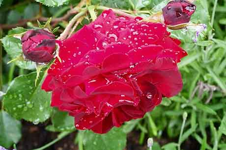 Водный режим для роз
