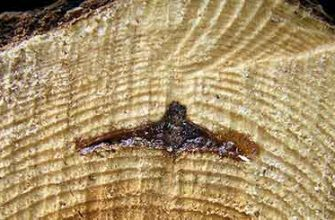 Гнили древесины растущих деревьев
