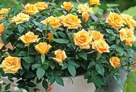 Размножение комнатной розы и борьба с болезнями и вредителями.