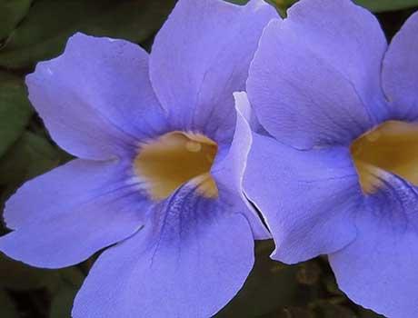 Клитостома повойная - нежное растение пастельных тонов.