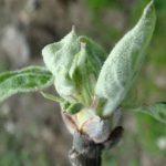 фенофаза яблони