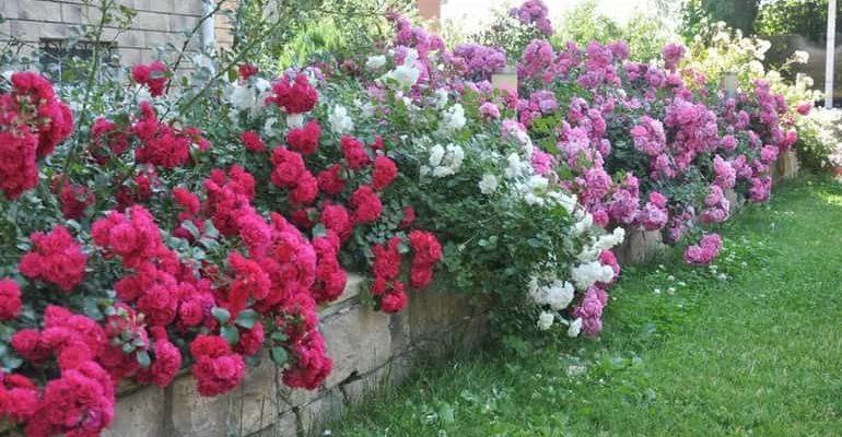 Цветники из роз фото