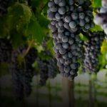 Удобрение виноградника фото
