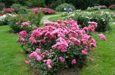 Цветники из роз