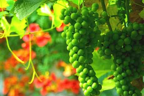 Удобрение виноградника