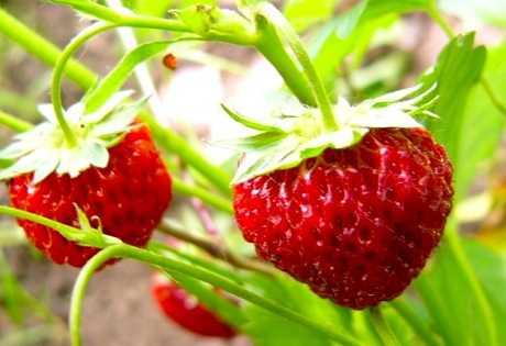 целебные свойства плодовых и ягодных культур