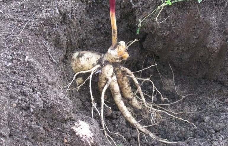 Полезные свойства корня женьшеня