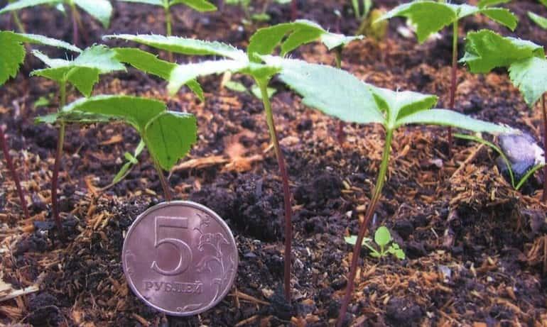 Выращивание рассады женьшеня
