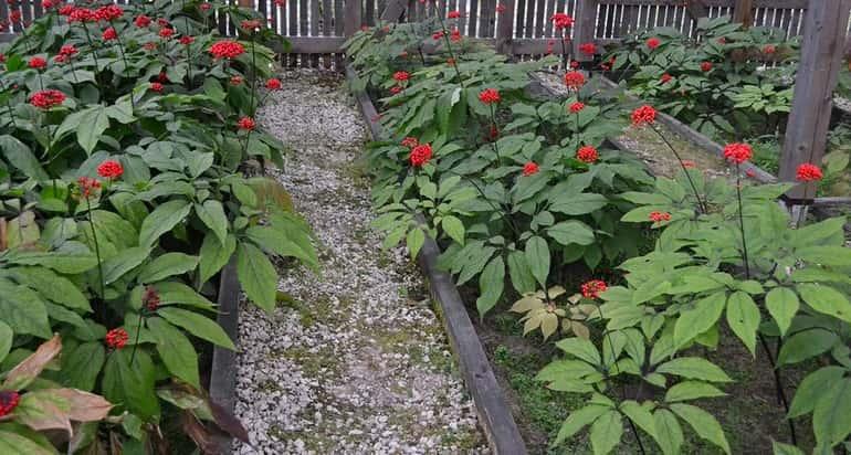 Выращивание женьшеня в саду