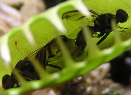 Венерина мухоловка размножение