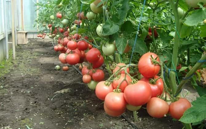 Выращивание томата в пленочных теплицах