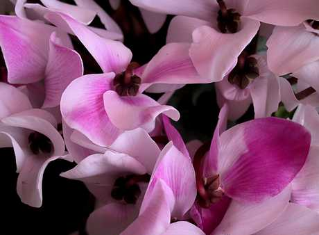 цветы цикламены уход