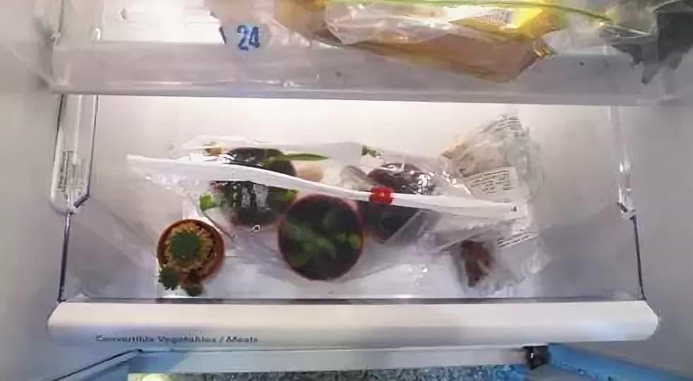 Дионея в холодильнике на спячке